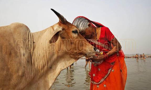 ഇന്ത്യ ചരിത്രത്തിലെ പശുവും ഹിന്ദുത്വ രാഷ്ട്രീയത്തിലെ വിശുദ്ധ പശുവും